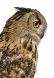 Close up of Eurasian Eagle-Owl, Bubo bubo royalty free stock image