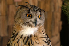 Close-up of eurasian eagle-owl Stock Photos