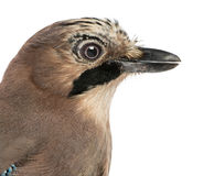 Close-up of an Eurasian Jay, Garrulus glandarius, isolated Stock Image