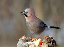 Close-up of a Eurasian jay portrait on a blurred background. The detail of the plumage and the identifying features are clearly visible Royalty Free Stock Images