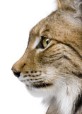 Close-up of a Eurasian Lynx's head. Lynx lynx (5 years old) in front of a white background Stock Image