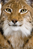 Close-up of a Eurasian Lynx's head. Lynx lynx (5 years old) in front of a white background Royalty Free Stock Photo