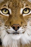 Close-up of a Eurasian Lynx's head