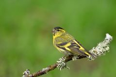 Close up of Eurasian siskin perching on a branch. Against green background Stock Photos
