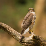 Close-up Eurasian sparrowhawk. On a three Stock Images