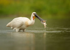 Close up Eurasian Spoonbill with gold fish in beak. White bird, rare Eurasian Spoonbill, Platalea leucorodia with fish in its beak. Calm water surface reflects stock photography