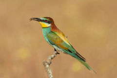 A close up of a Europeaan bee-eater with bee Stock Photo