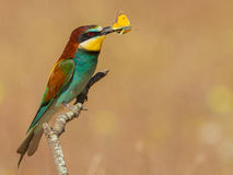 A close up of a Europeaan bee-eater with butterfly. A close up of a Europeaan bee-eater with a buuterfly in the extremadura spain Stock Photo