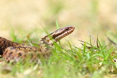 Close up of european common adder Royalty Free Stock Photos