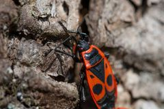 Close up of European Firebug Pyrrhocoris apterus on a wooden bark in the spring royalty free stock photography