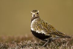 Close up of an European Golden plover royalty free stock photography