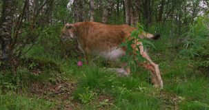 Close-up of a european lynx walking in the forest at summer stock video footage