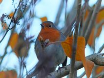 Close up of a european robin perched in a tree with bright autumn leaves and a blurred background stock photography