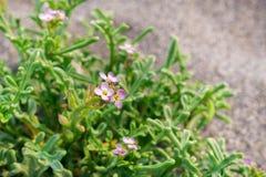 Close up of European searocket Cakile maritima flowers, Prairie Creek Redwoods State Park, Northern California royalty free stock photography
