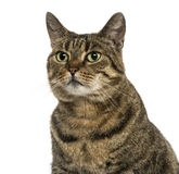 Close-up of a European shorthair looking away, isolated Royalty Free Stock Images