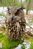 Close-up Europees-Aziatische Eagle-uil stock fotografie