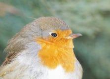 Close-up europeu do pisco de peito vermelho (rubecula do Erithacus) Fotografia de Stock