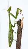 Close up europeu verde do macro da louva-a-deus Fotos de Stock Royalty Free