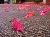 Close up evening dirty grungy concrete road, fallen pink flower stock image
