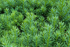 Close up of Evergreen Bush Royalty Free Stock Photography