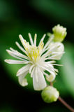 Close up of Evergreen Clematis (Clematis vitalba) flower Royalty Free Stock Image