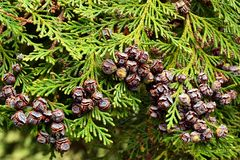 An evergreen cypress branch with many small round brown cones royalty free stock photography