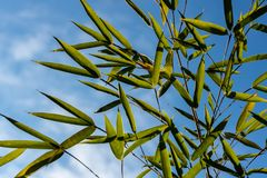 Close-up evergreens graceful green bamboo Phyllostachys aureosulcata on a background of bright blue sky with white clouds. Lovely background for any design stock photo