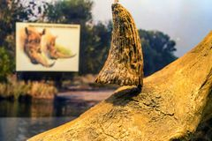 Horn of Woolly Rhinoceros in museum close stock images