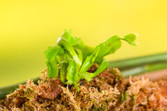 Close up of an exotic carnivorous flower Venus flytrap dionaea planted over a substratum of wood, moss a ground with Stock Image