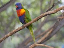 Close up exotic colorful red blue green parrot Agapornis lorikee. T sitting on the tree branch Stock Photos