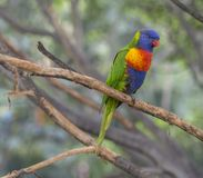 Close up exotic colorful red blue green parrot Agapornis rainboW. Lorikeet sitting on the tree branch Royalty Free Stock Photo