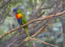 Close up exotic colorful red blue green parrot Agapornis rainboW. Lorikeet sitting on the tree branch Stock Images