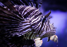 Close up of an exotic fish. Exotic purple, black & white fish close up shot royalty free stock images