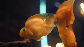 Close-up of exotic Goldfishes floating in tropical aquarium tank in a fresh water with green plants. Frame. Amazing. Close-up of exotic Goldfishes floating in stock video
