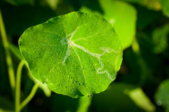 Close-up exotic plant leaf with water drops , Beautiful green leaf texture with drops of water Stock Photography