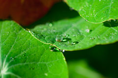Close-up exotic plant leaf with water drops , Beautiful green leaf texture with drops of water Royalty Free Stock Photos