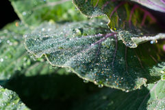Close-up exotic plant leaf with water drops , Beautiful green leaf texture with drops of water Royalty Free Stock Image