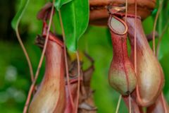 Close up from an exotic pot plant nepenthes stock photography