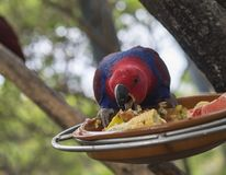 Close up exotic red blue parrot Agapornis parakeet eating grain. And fruit from bowl on the tree branch Stock Photography