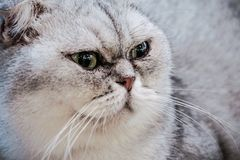 Free Close Up Exotic Shorthair Cat Is Looking This Way And Wondered Something Stock Photos - 164705673