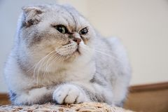 Free Close Up Exotic Shorthair Cat Is Looking This Way And Wondered Something Royalty Free Stock Photo - 164705675