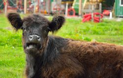 Close up of a expressive grazing cow. Royalty Free Stock Photography