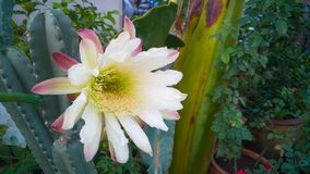 Close up exterior da imagem da flor grande do cacto Imagens de Stock Royalty Free
