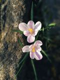 close-up exterior da luz solar do jardim da mola da flor dos açafrões Fotografia de Stock