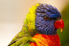 Close Up of extremely colorful rainbow lorikeet Stock Photos