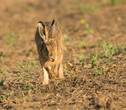 Wild brown hare on the run running towards royalty free stock photo