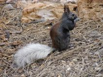 Close-up of extremely rare Kaibab squirrel near North Rim of Grand Canyon. A close-up view of the extremely rare Kaibab squirrel. Its habitat is confined Stock Photos
