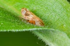 Close up extremo com detalhe da espécie em uma folha - Theodore Wirth Park do erro da saliva em Minnesota fotografia de stock