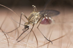 Close-up extremo do mosquito Imagem de Stock
