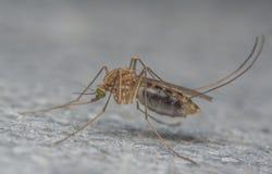 Close-up extremo do mosquito ou foto do macro Fotografia de Stock